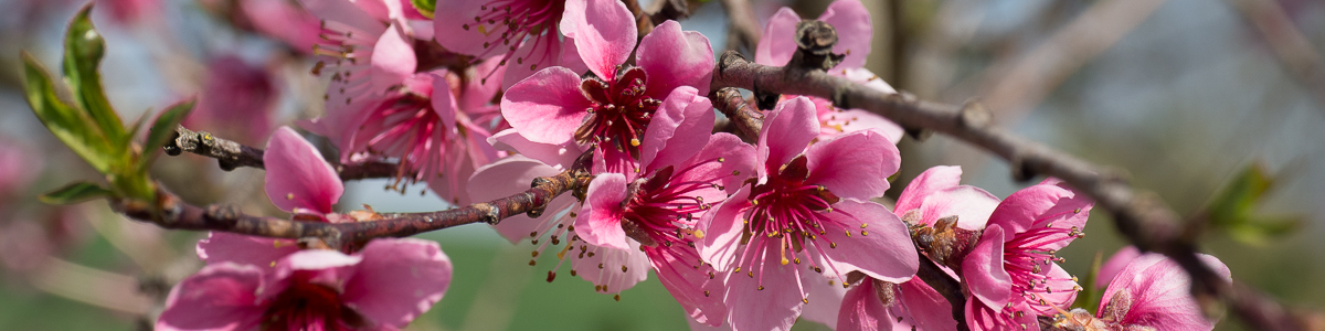 Pfirsichblüten